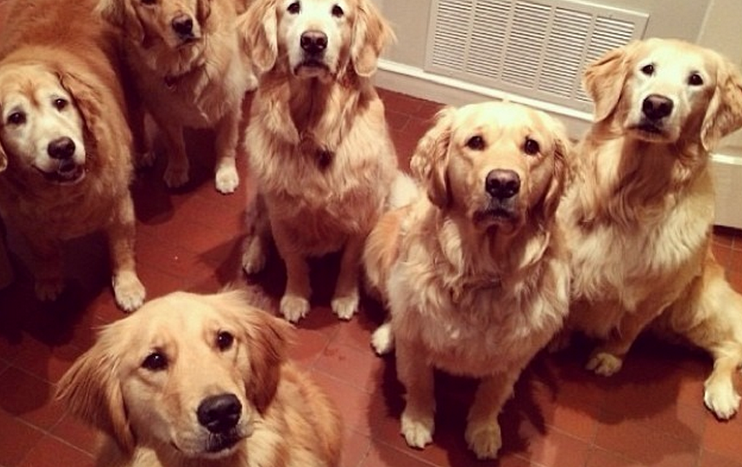18 Reasons Golden Retrievers Are Not The Friendly Dogs Everyone Says TheyAre